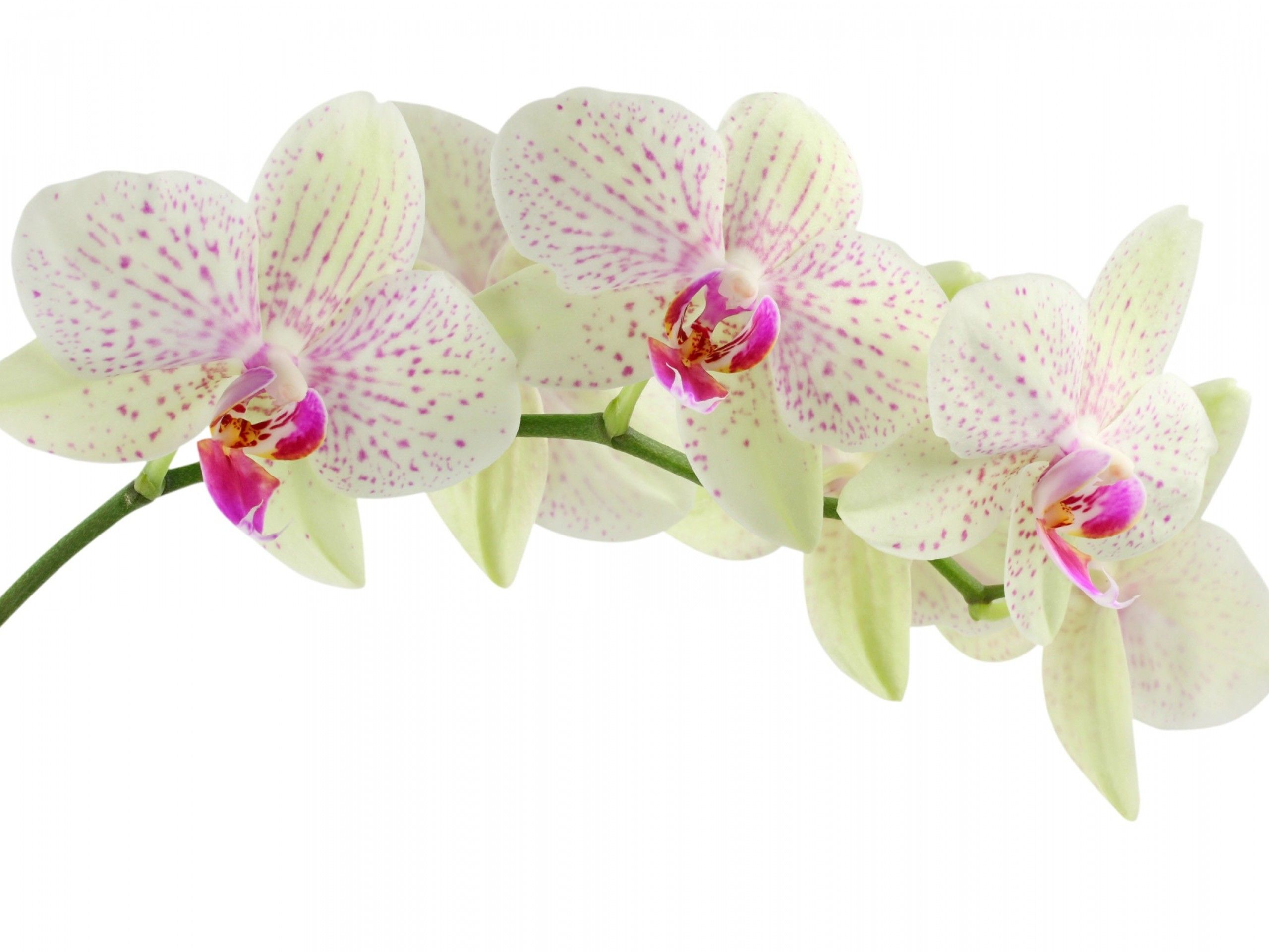 White Orchids Flowers Orchid Flower Orchid Wallpaper Flower Wallpaper