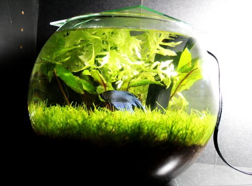 Plant ideas for my betta bowl puppy love kitten fluff for Beta fish bowl