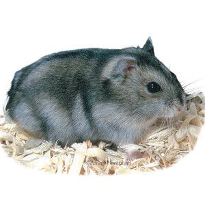 Im Getting This In August Winter White Hamster Hamster Small Pets