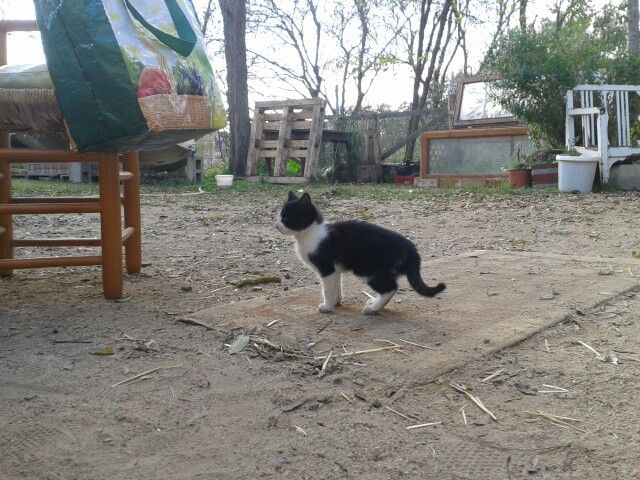 Cat Salvaje
