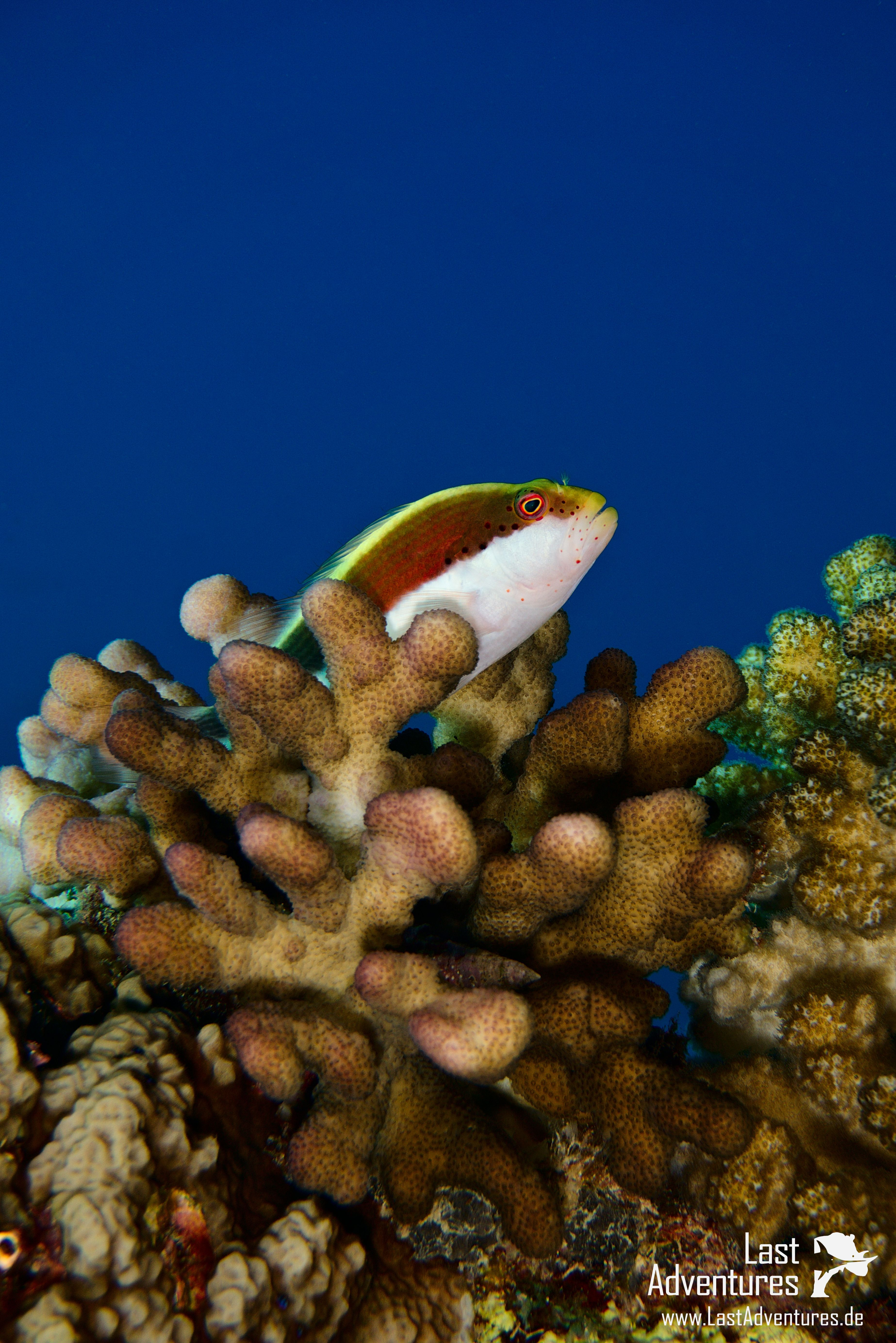 Büschelbarsche fotografiert in Ägypten #Büschelbarsche #hawkfishes ...