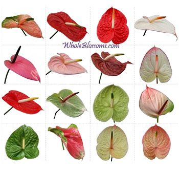 Buy Bulk Assorted Anthurium Flower At Wholesale Anthurium Flower Anthurium Wholesale Flowers