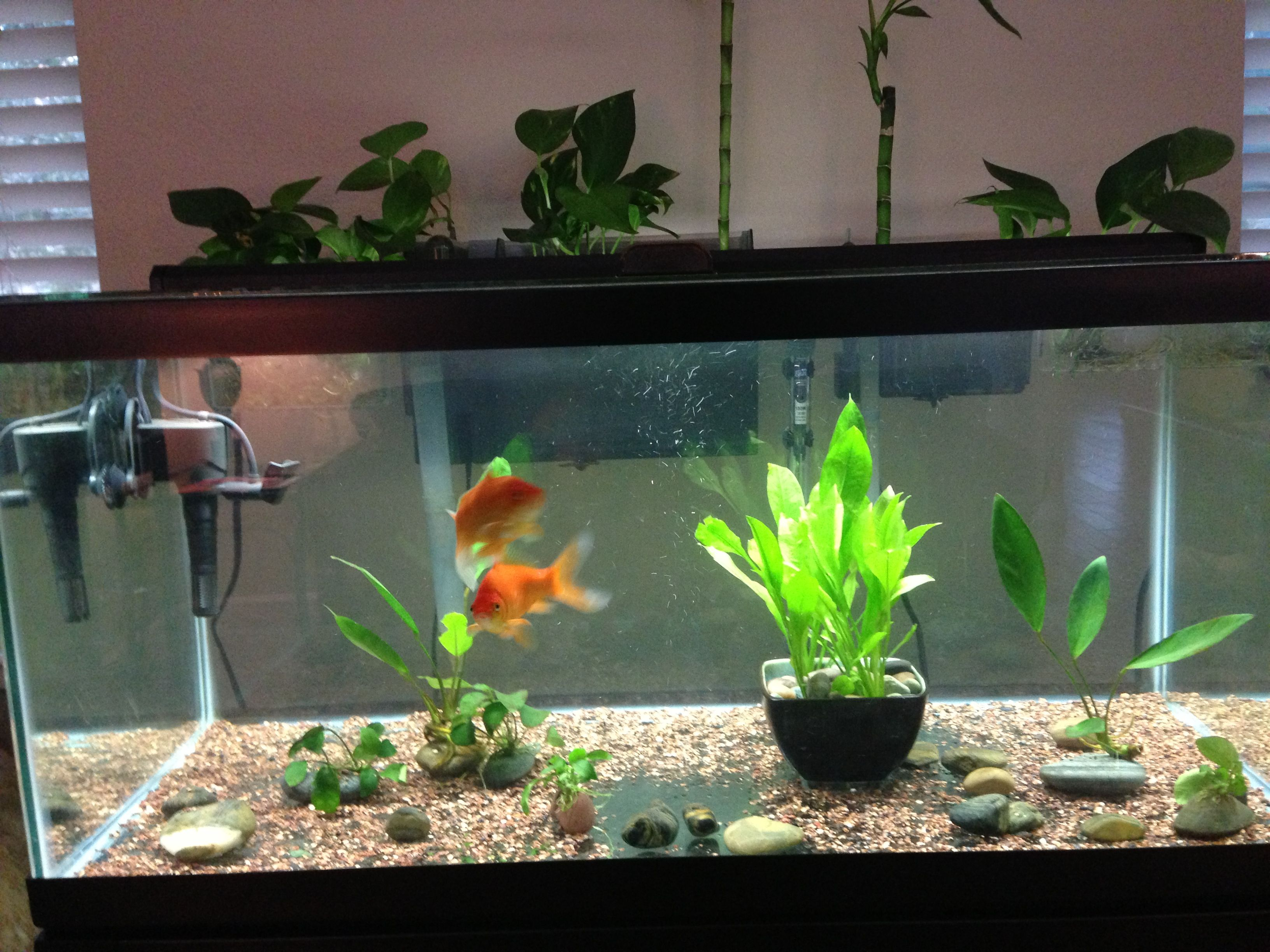 Goldfish Tank With Pathos And Lucky Bamboo Partially Submerged And