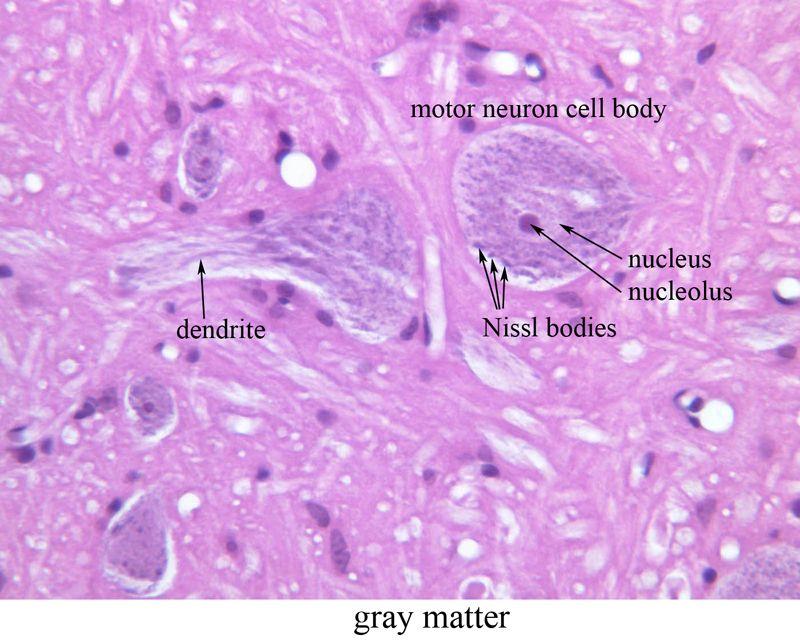 ventral horn histology