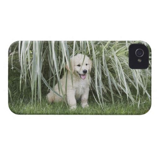=>>Cheap          Goldendoodle puppy sitting under tall grasses iPhone 4 Case-Mate cases           Goldendoodle puppy sitting under tall grasses iPhone 4 Case-Mate cases we are given they also recommend where is the best to buyDeals          Goldendoodle puppy sitting under tall grasses iPh...Cleck Hot Deals >>> http://www.zazzle.com/goldendoodle_puppy_sitting_under_tall_grasses_case-179299844381557754?rf=238627982471231924&zbar=1&tc=terrest