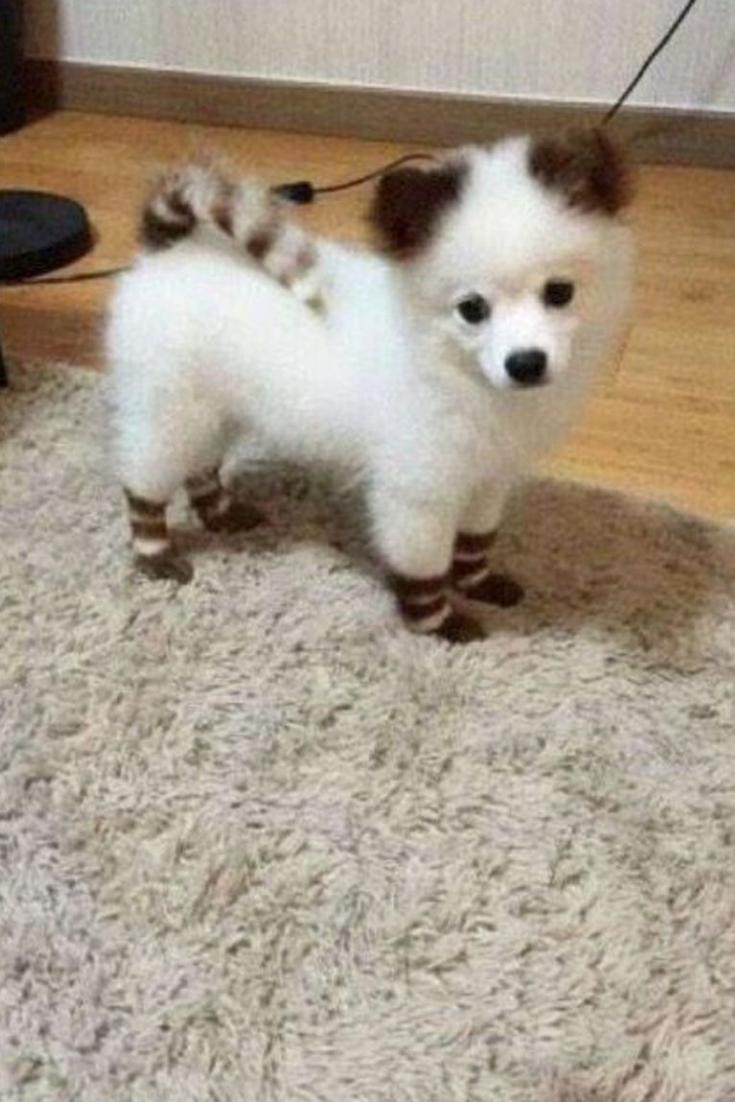 Mini chien - 40 chiens miniatures à croquer ! | Animaux ...