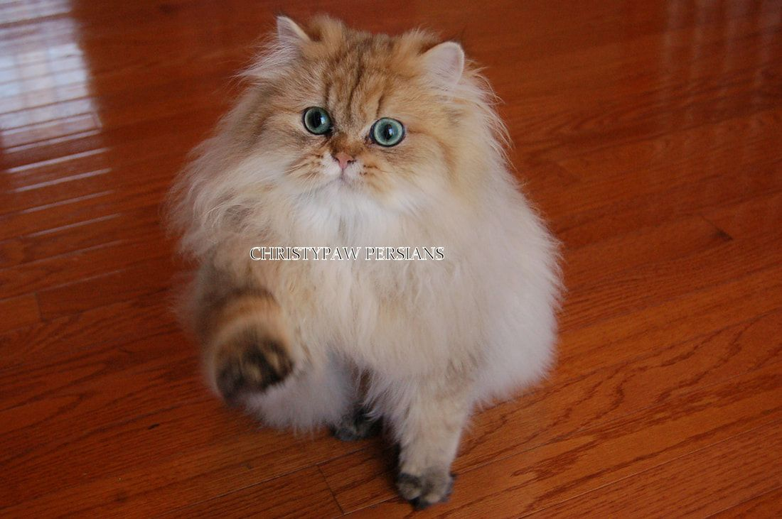 Pin On Persian Kittens For Sale
