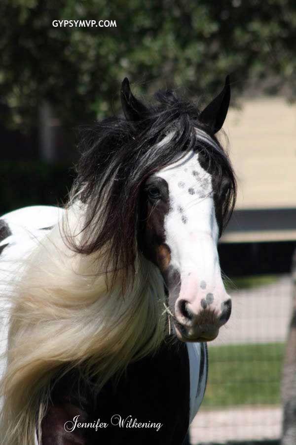 Gypsy Vanner Horses for Sale | Mare | Piebald | Memory