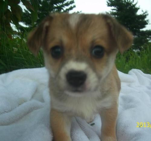 Adopt Victoria On Papillon Dog Terrier Mix Dogs Dogs