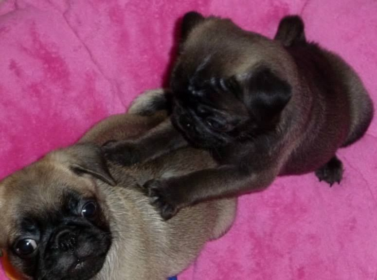 Silver Sable Fawn Pug Puppies Pug Puppies Baby Pugs Pugs