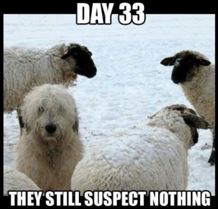 Old English Sheepdog Meme Google Search Funny Dog Memes Funny Animals Funny Dog Pictures