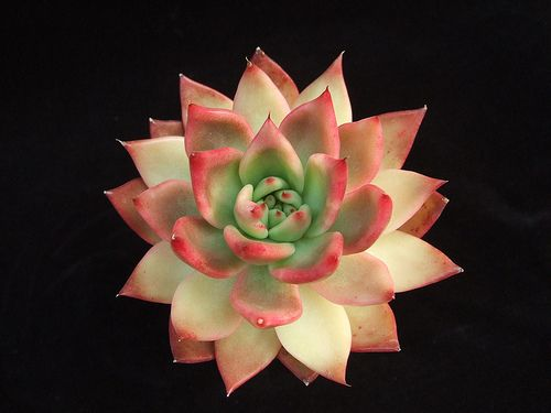 Echeveria 'Frank Reinelt' | This one is currently showing sp… | Flickr