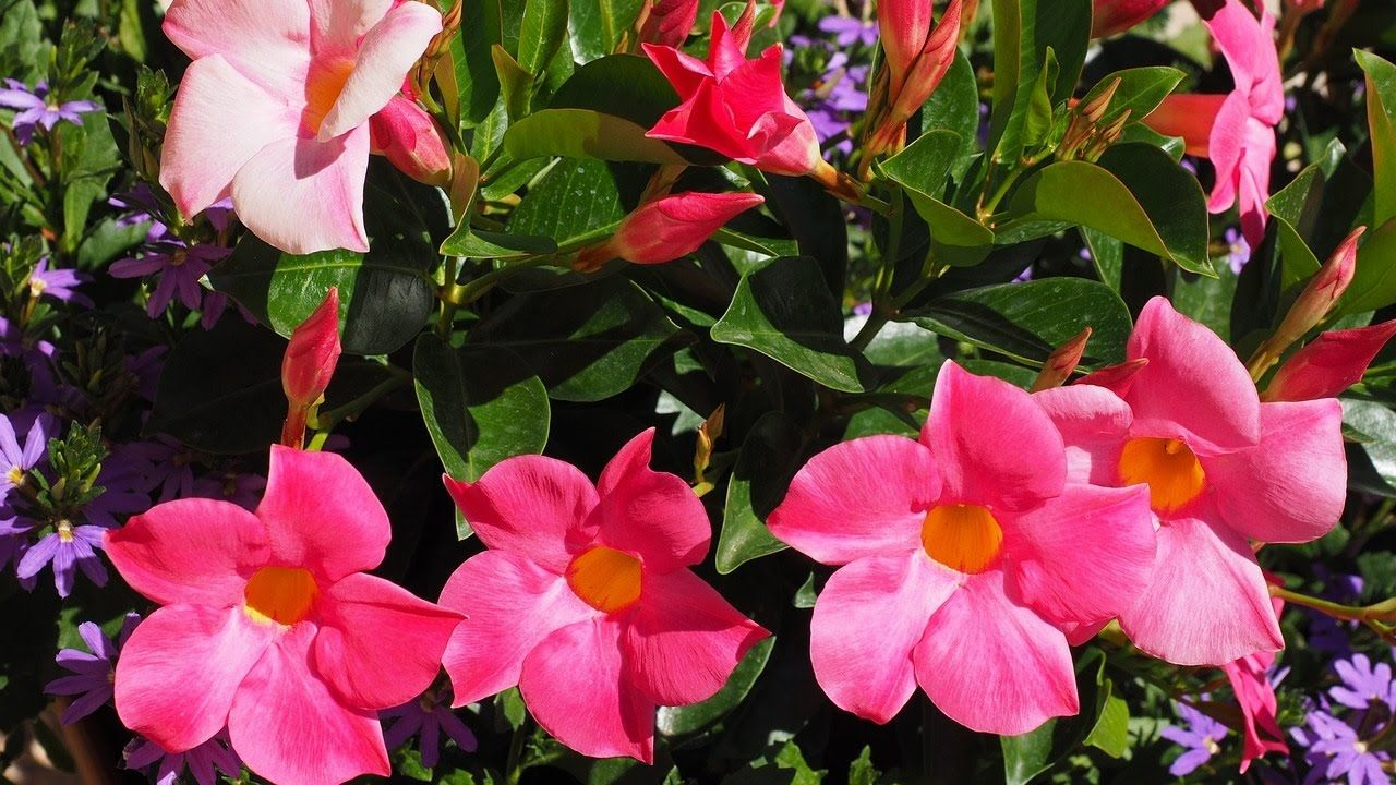 Amazing and most beautiful mandevilla flowers brazilian jasmine amazing and most beautiful mandevilla flowers brazilian jasmine dipladenia flowers izmirmasajfo