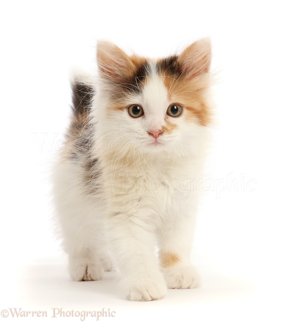 Calico Kitten 9 Weeks Old Photo Wp45308 In 2020 Calico Kitten Cute Baby Cats Kittens Cutest