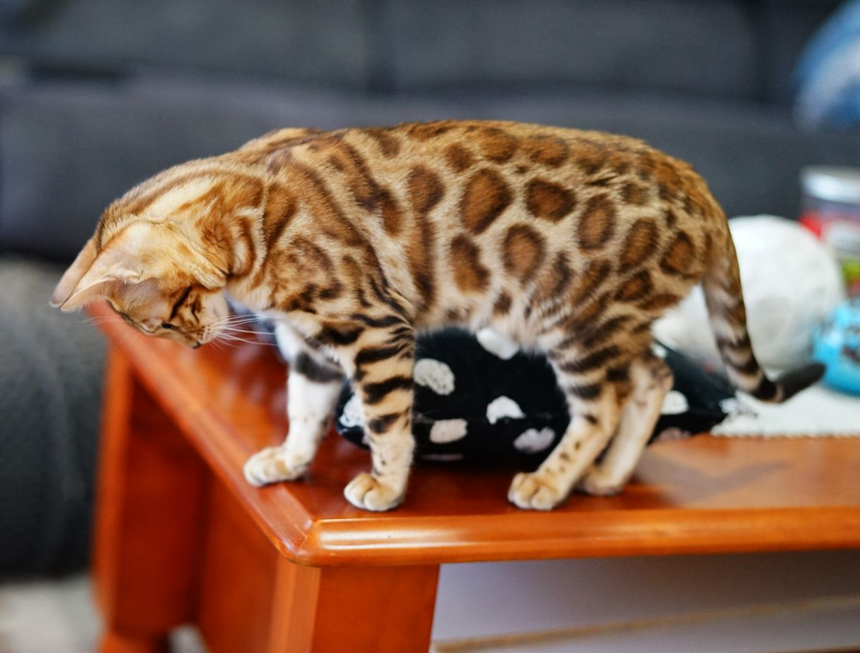 Meet The Bengal Cats And Kittens Of Ashmiyah Bengals Bengal Cats Australia What More Could One Want In Life We Bengal Kitten Bengal Cat Bengal Cat Breeders