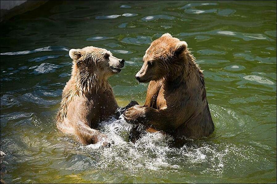 очень интересная картинки умывающихся медвежат сорта яблони алтынай