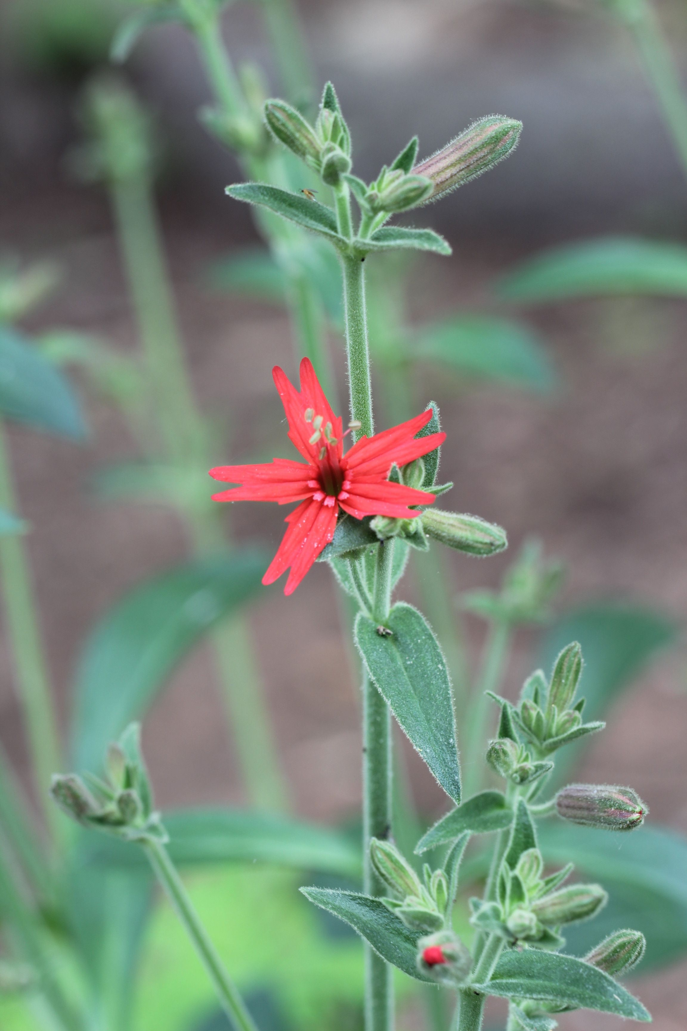 Silene Virginica Our Native Woodlander Fire Pink Certainly Adds