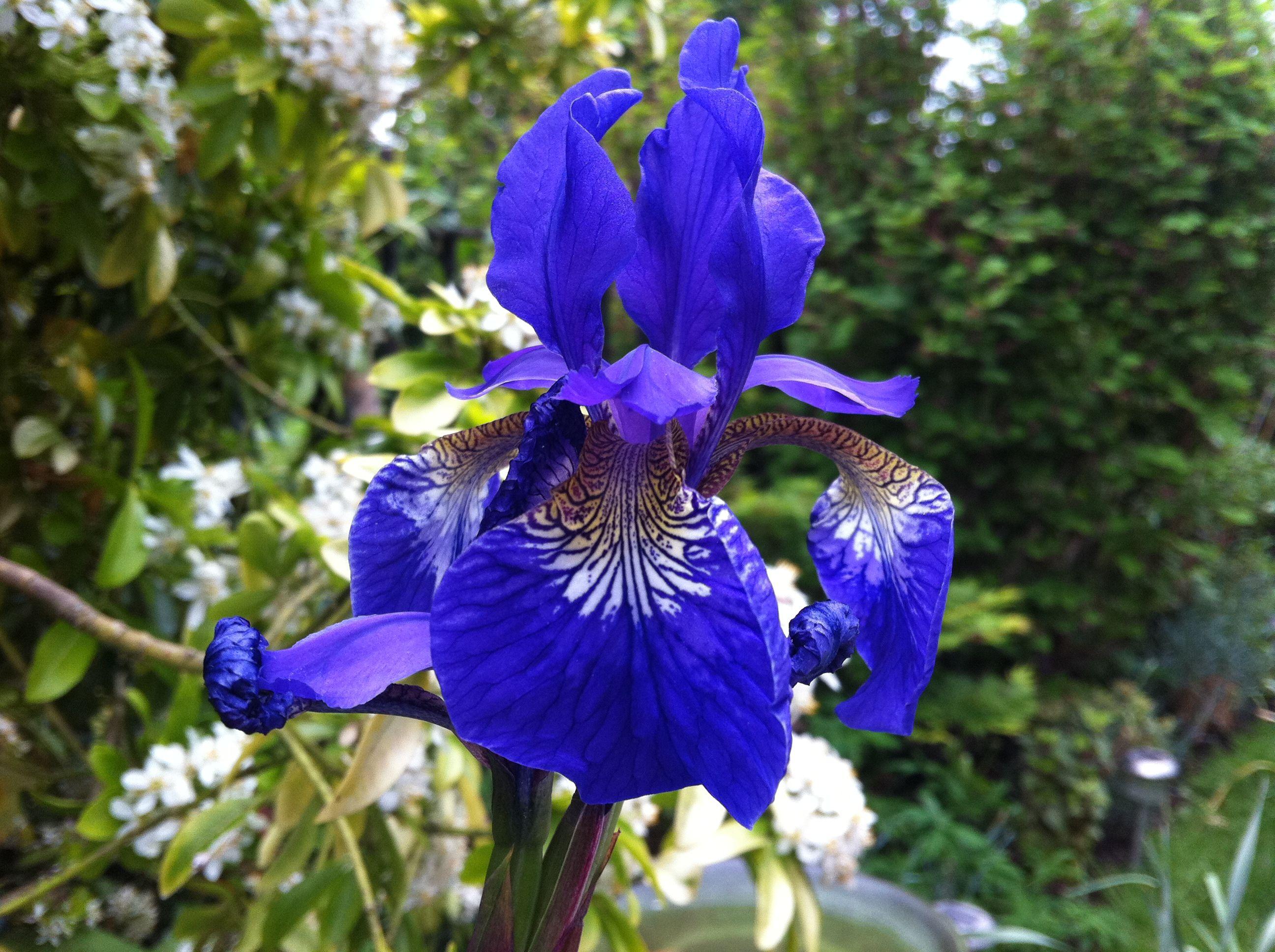 Iris sibirica sunils garden gardens pinterest iris iris sibirica sunils garden biocorpaavc