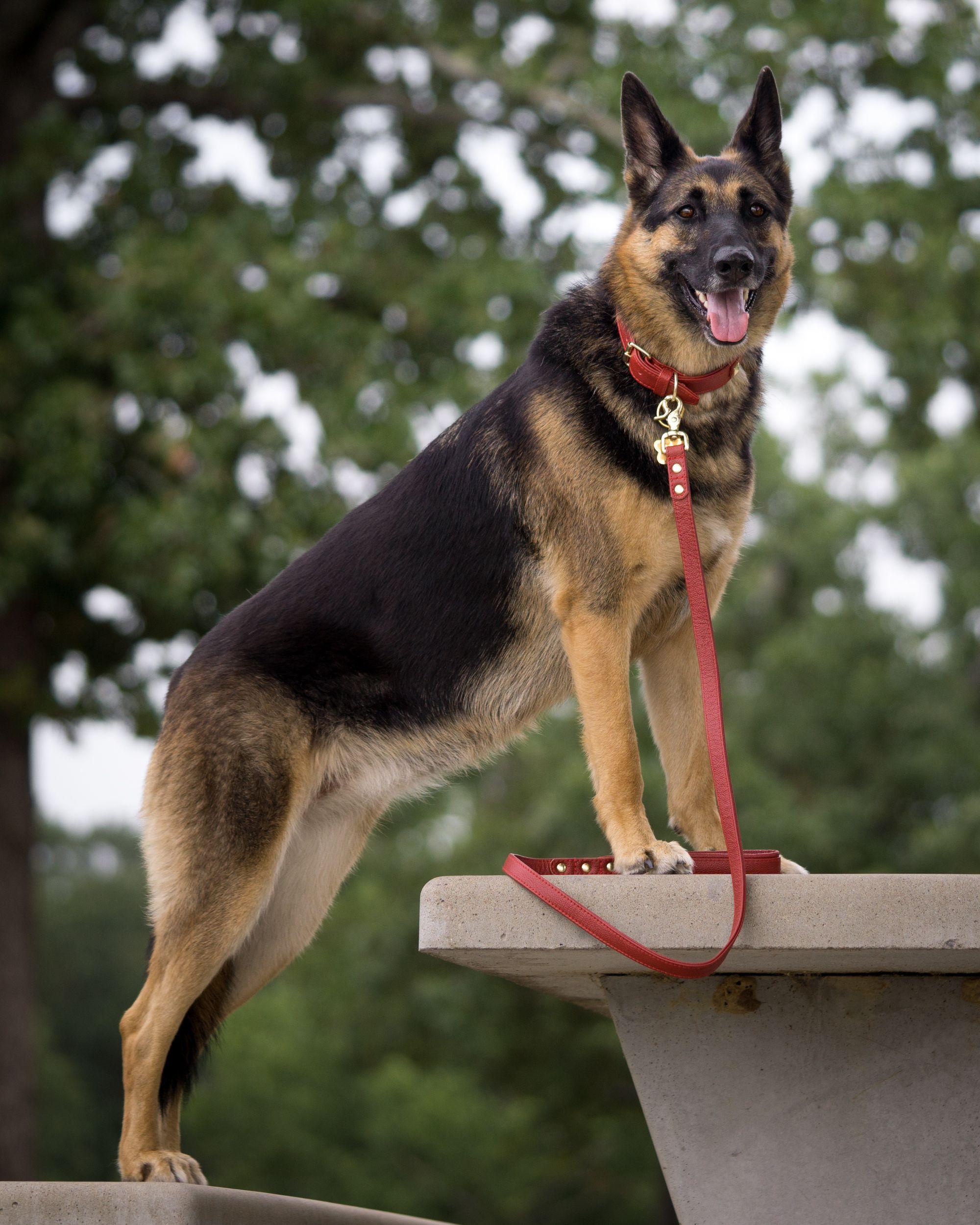 Augusto Deoliveira Off Leash Pack Walk Shepherd Puppies Gsd