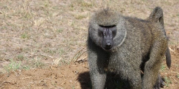 Baboon, Kenya, Africa