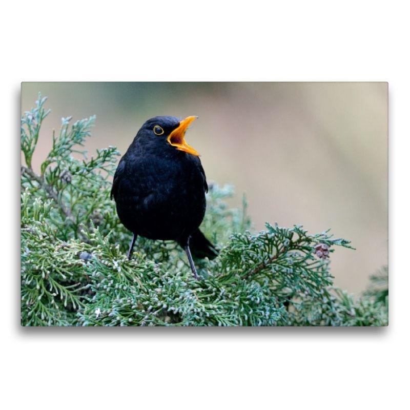 Leinwand Amsel Heimische Gartenvogel Tiere Und Bilder