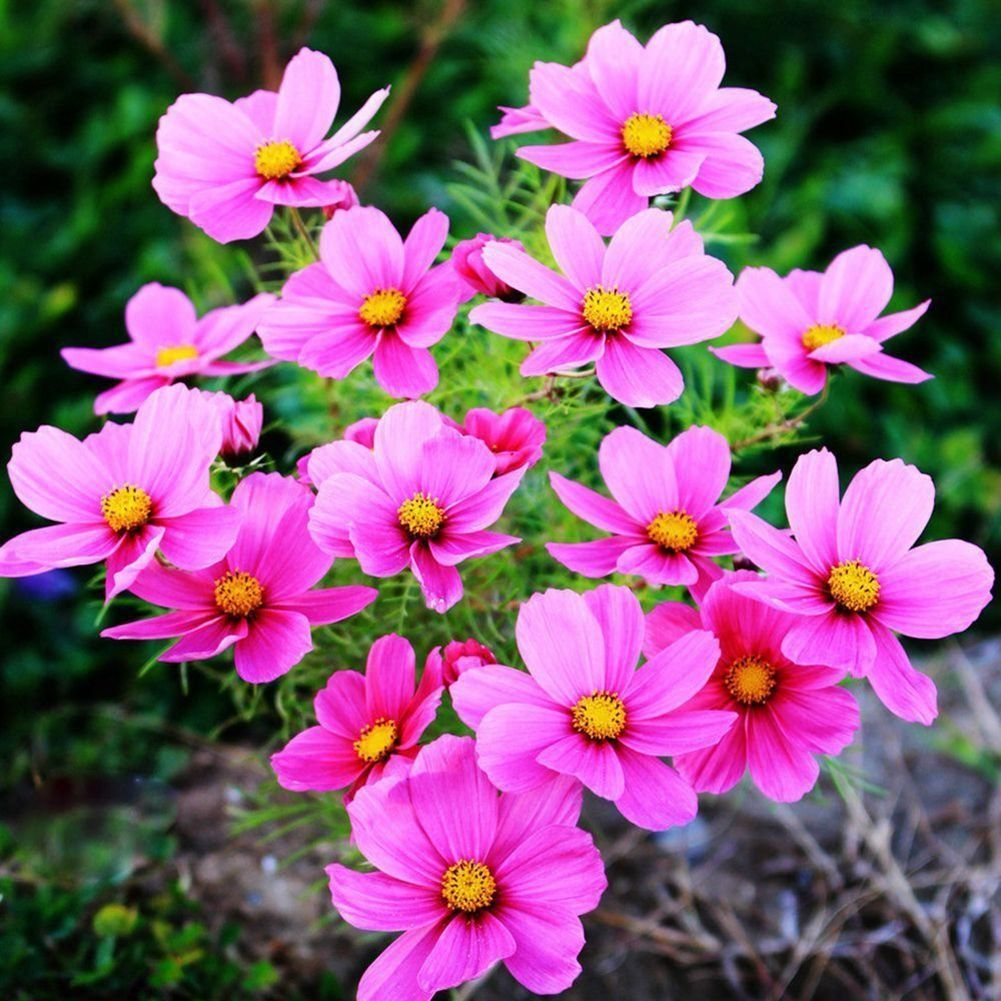 Heirloom 100 Common Cosmos Flower Seeds Cosmos Bipinnatus Attracts Bees And Butterflies Additional Details At The Pin Flower Seeds Diy Yard Attracting Bees