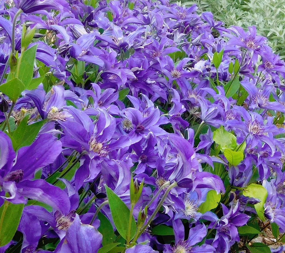 Cottage Farms 3 Piece Sapphire Indigo Groundcover Clematis Page