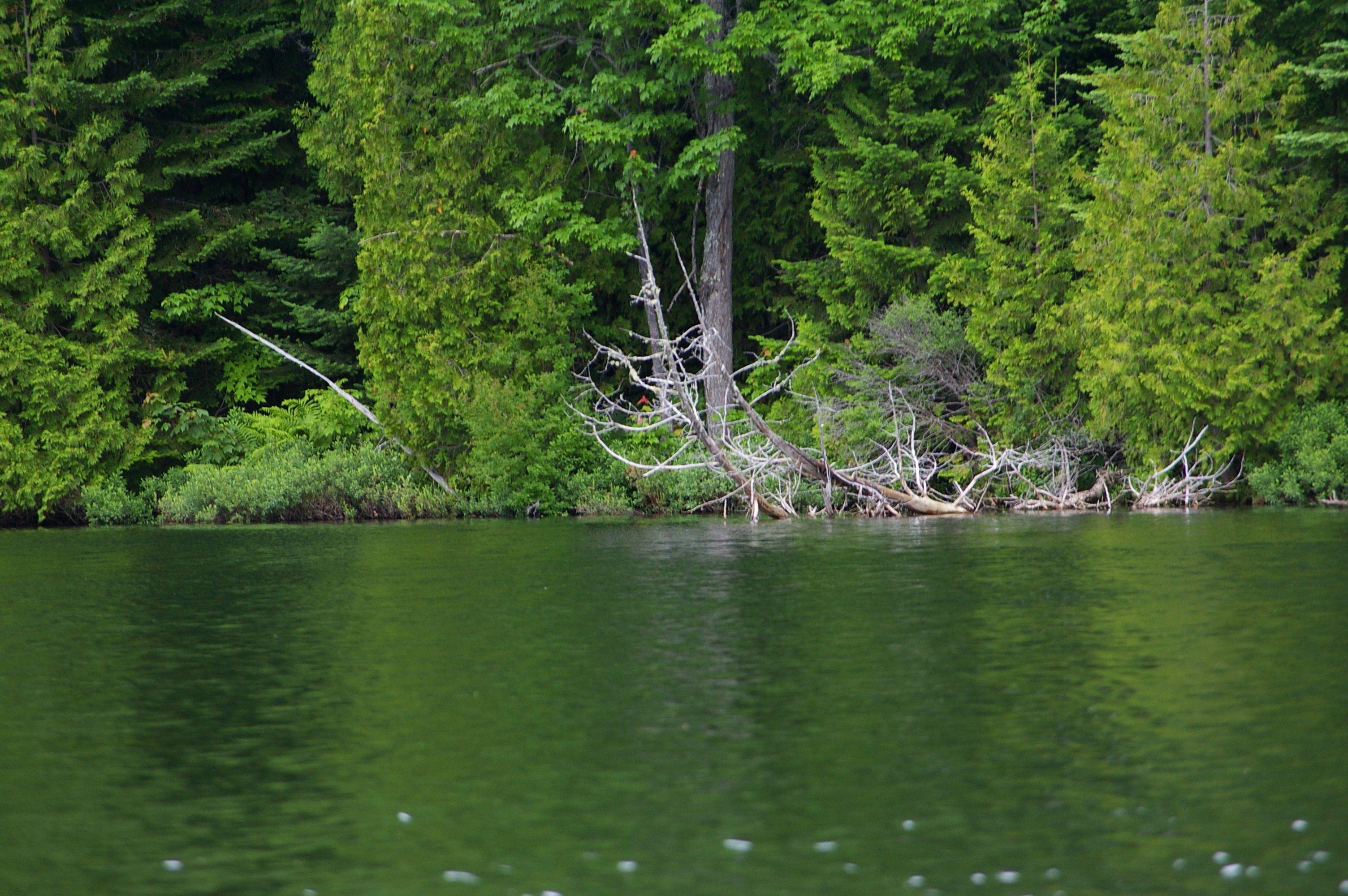 Au bord d'un lac Québecois, les ravages d'une famille castor