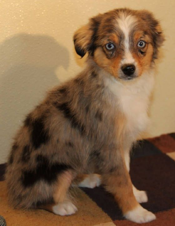 Blue Merle Toy Aussie Puppies With Blue Eyes In Co Me Md Ma Mi Mn Ms Mo Mt Ne N Aussie Puppies Australian Shepherd Blue Merle Collie Puppies For Sale