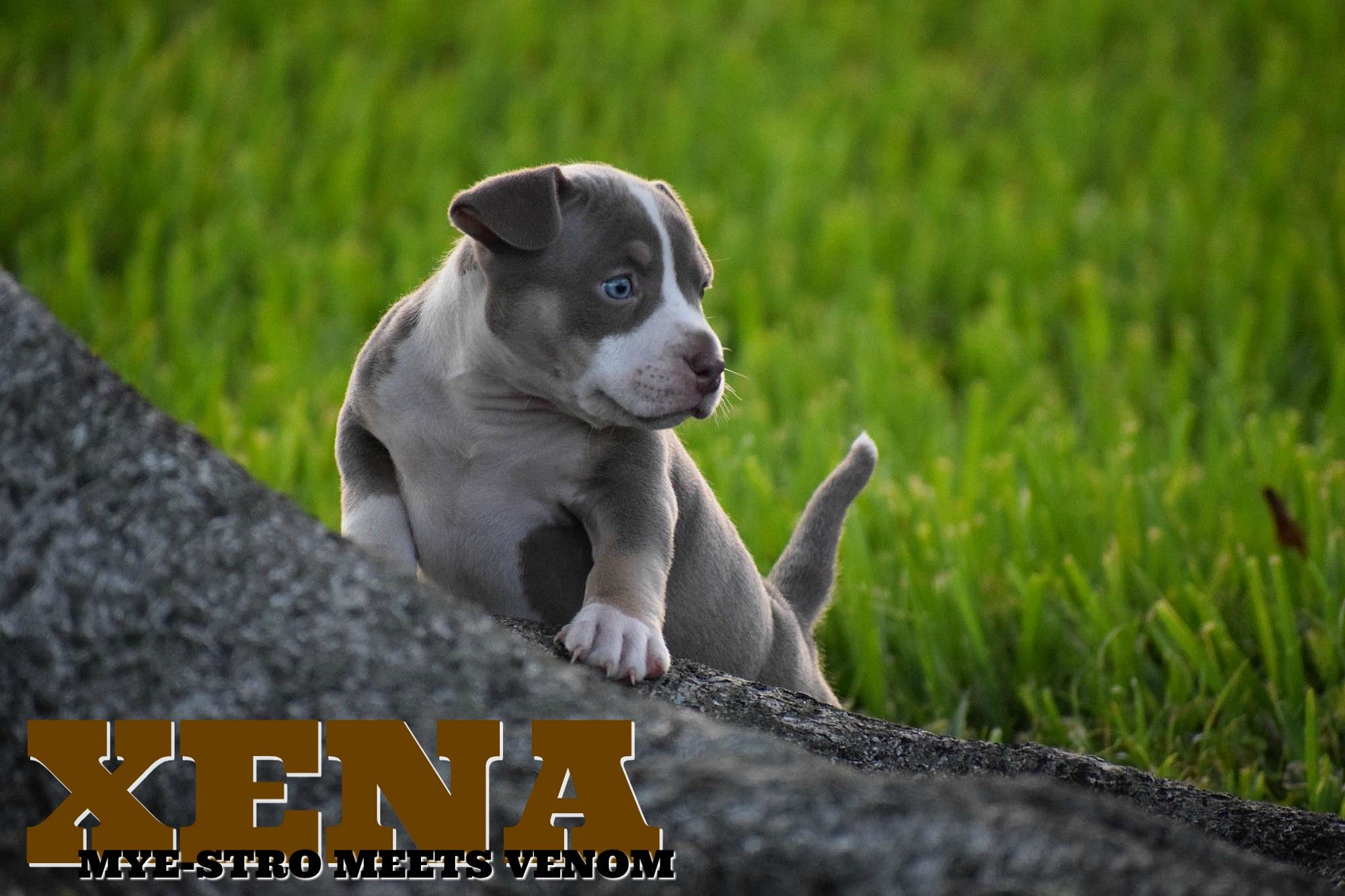 Top Pocket American Bully Breeders American Bully Pocket Bully