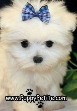 Maltese So Cute It Gives Me Goose Bumps Maltese Puppy Puppies Maltese Dogs