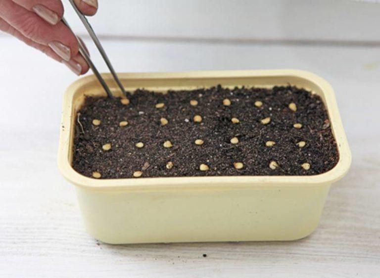 Как сеять перец на рассаду в домашних условиях | Овощной ...