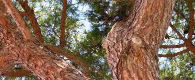 Pine Tree in the Algarve