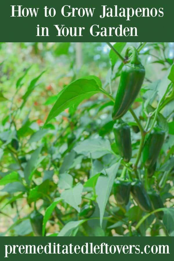 jalapeno Pepper gardening tips - If you want to try ...