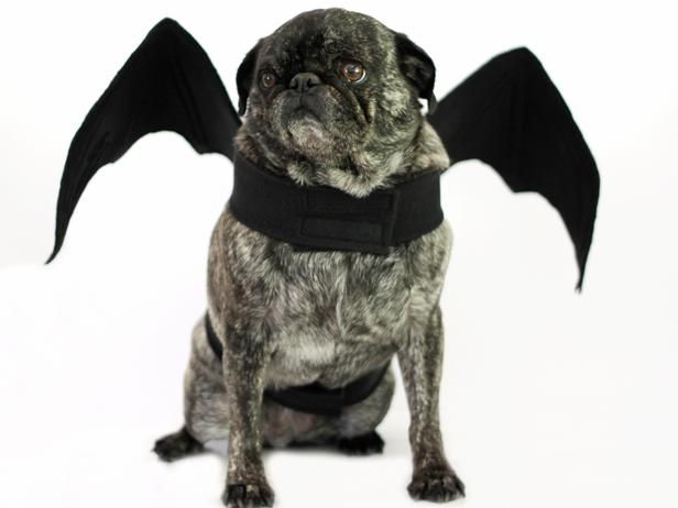 How To Make Bat Wings Halloween Costume For A Dog Pet Halloween