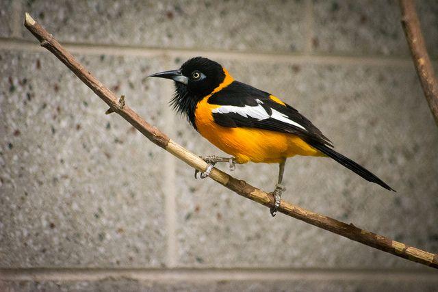 troupial tracy aviary bird photos pinterest photos
