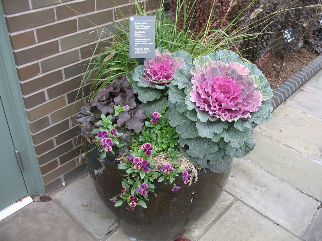 Horned Violet Coral Bells Ornamental Kale And Fountain 400 x 300