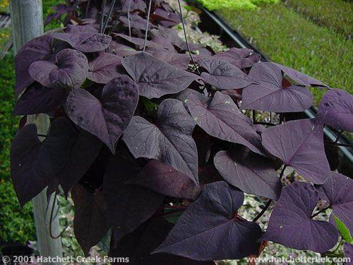 Pin On Black Deep Purple Flowers Foliage