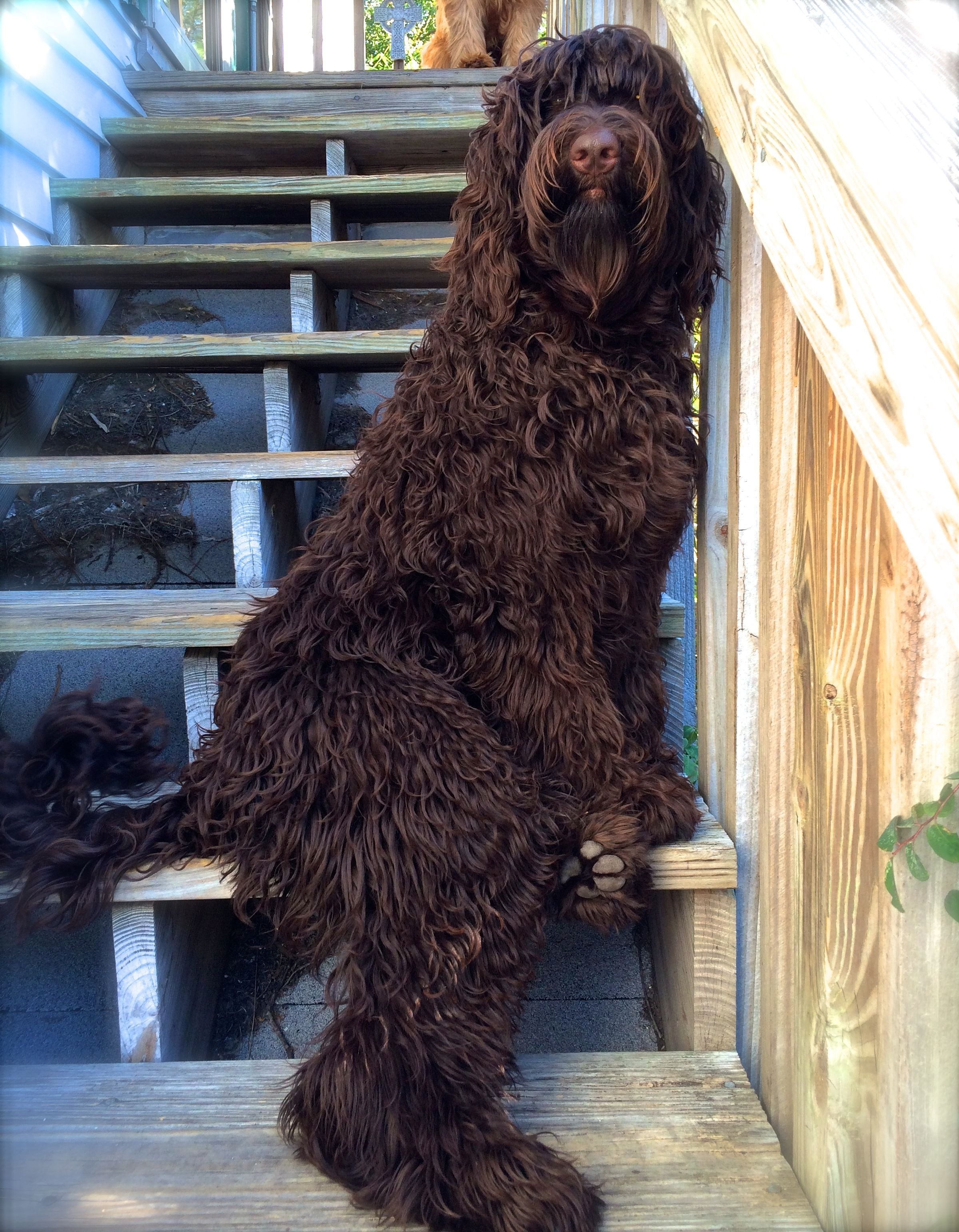 Labradoodle Coloring Page coloring 4 Pinterest Woodburning