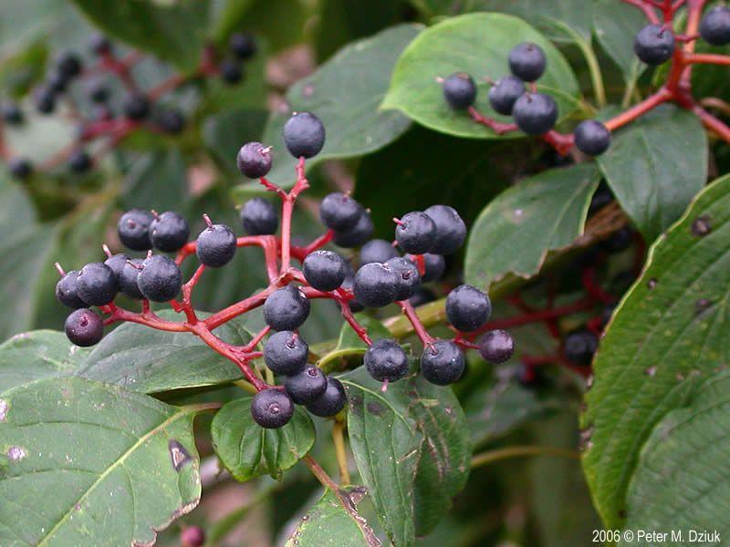 Cornus Alternifolia Paa Dogwood