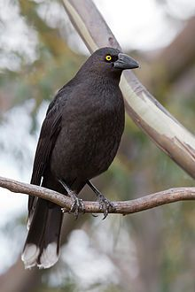 Black Currawong Spotted On Tahune Airwalk Outside Of Hobart Tas