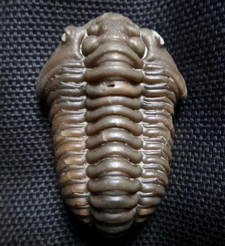 the existence of trilobites essay Genesis is about more than the t rex and trilobites genesis establishes the basic parameters of living on god's earth according to his precepts in his word the existence of other creation myths actually lends strength to our case rather than weakening it.