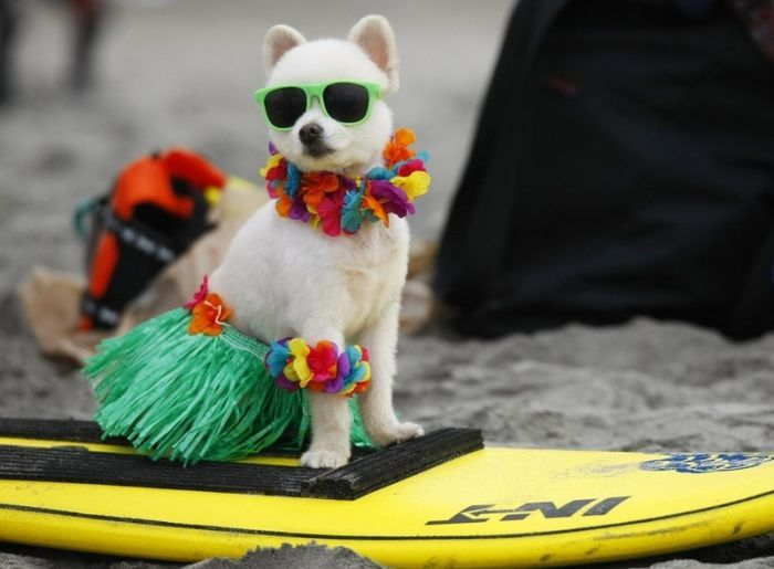 Awesome haha! Whole bunch of surfing dogs!