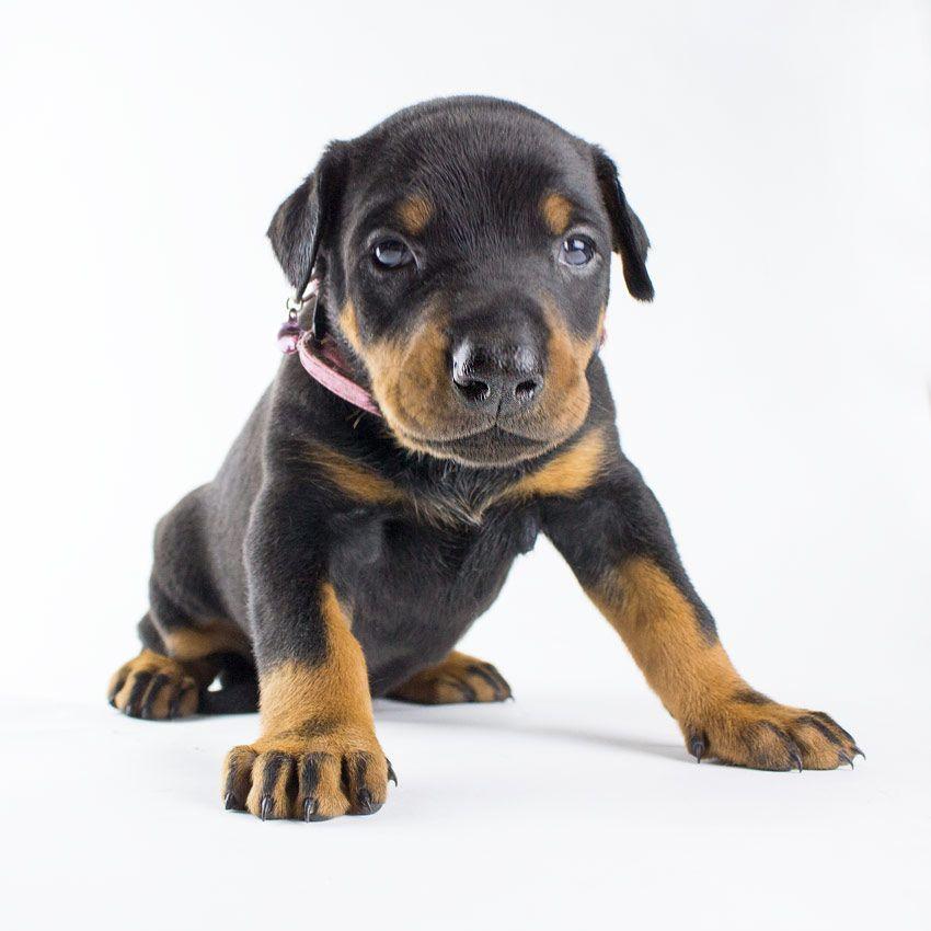 Female Doberman Puppy Pink Collar 2 000 00 Doberman Pinscher