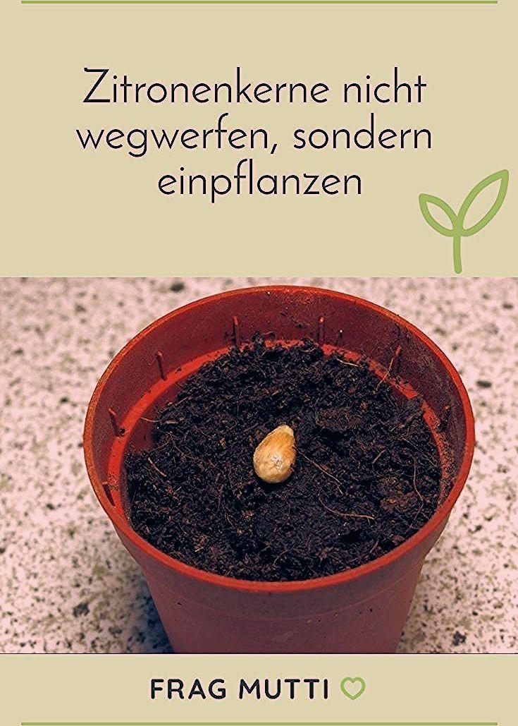 Photo of Zitronenkerne nicht wegwerfen sondern einpflanzen