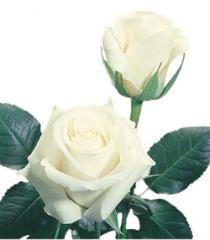White Roses Blizzard