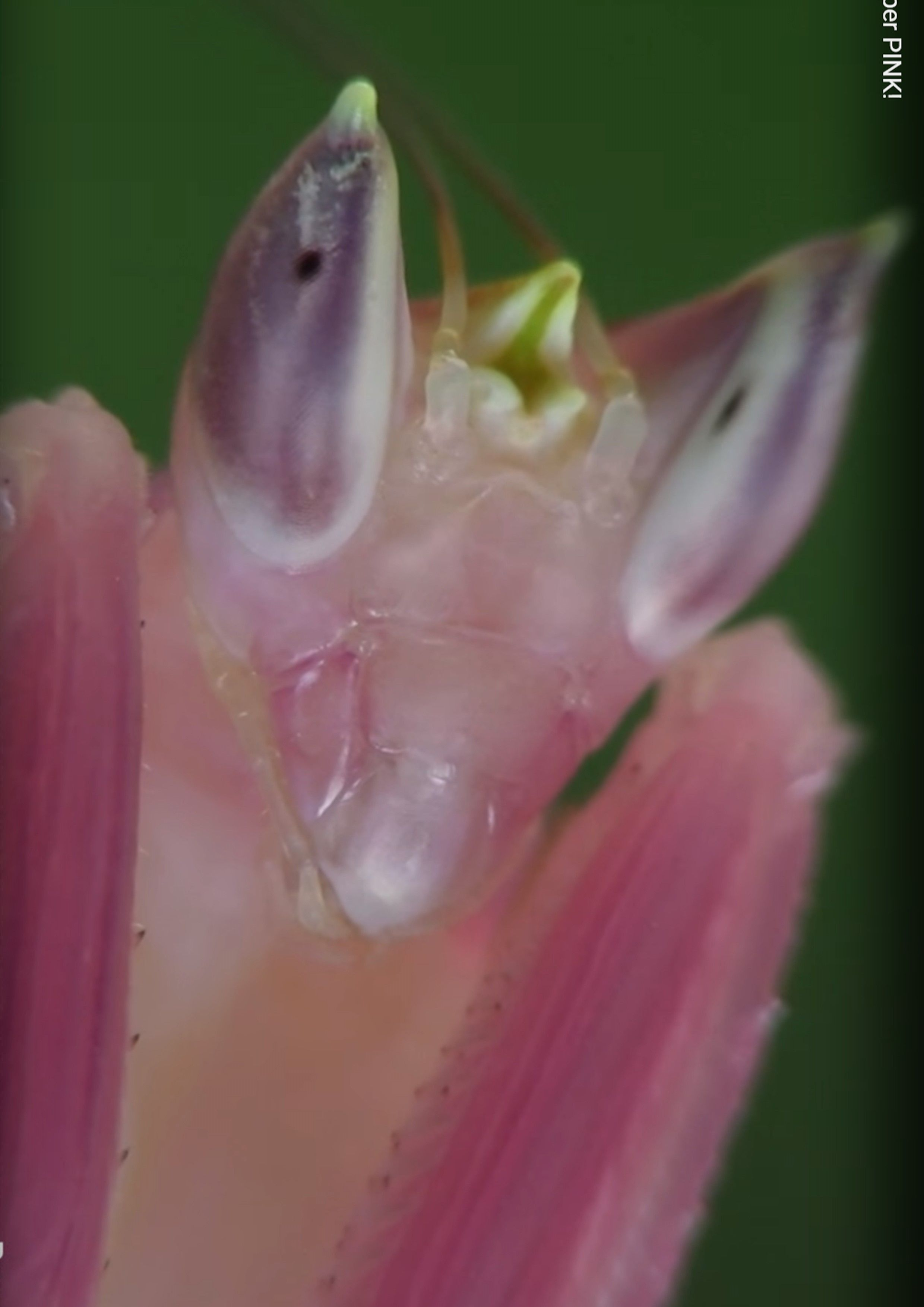 Pin by iona brinch on orchid mantis pinterest colorful animalscute animalspink orchidspraying mantisanimal kingdommother natureinsectsdragonfliesbeetles dhlflorist Image collections