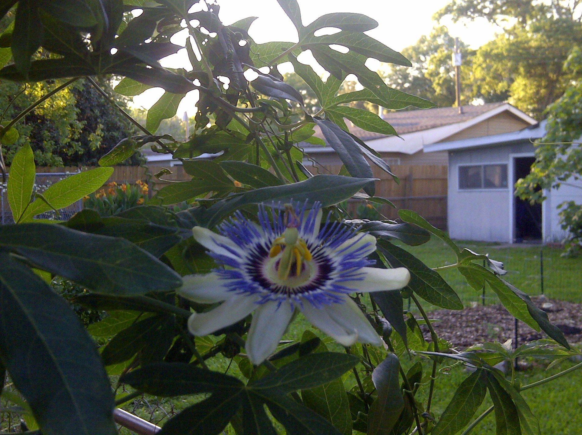 passion fruit flowerstrange lil plant Plants