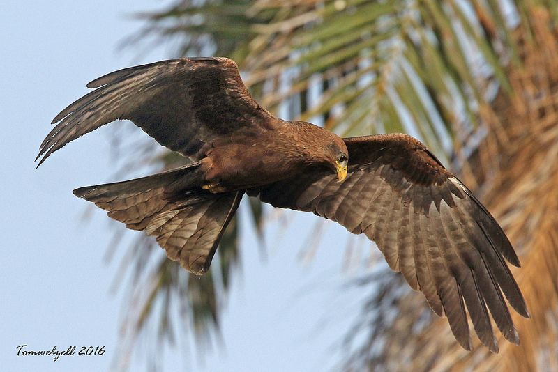 BLACK KITE / KOTU / GAMBIA.