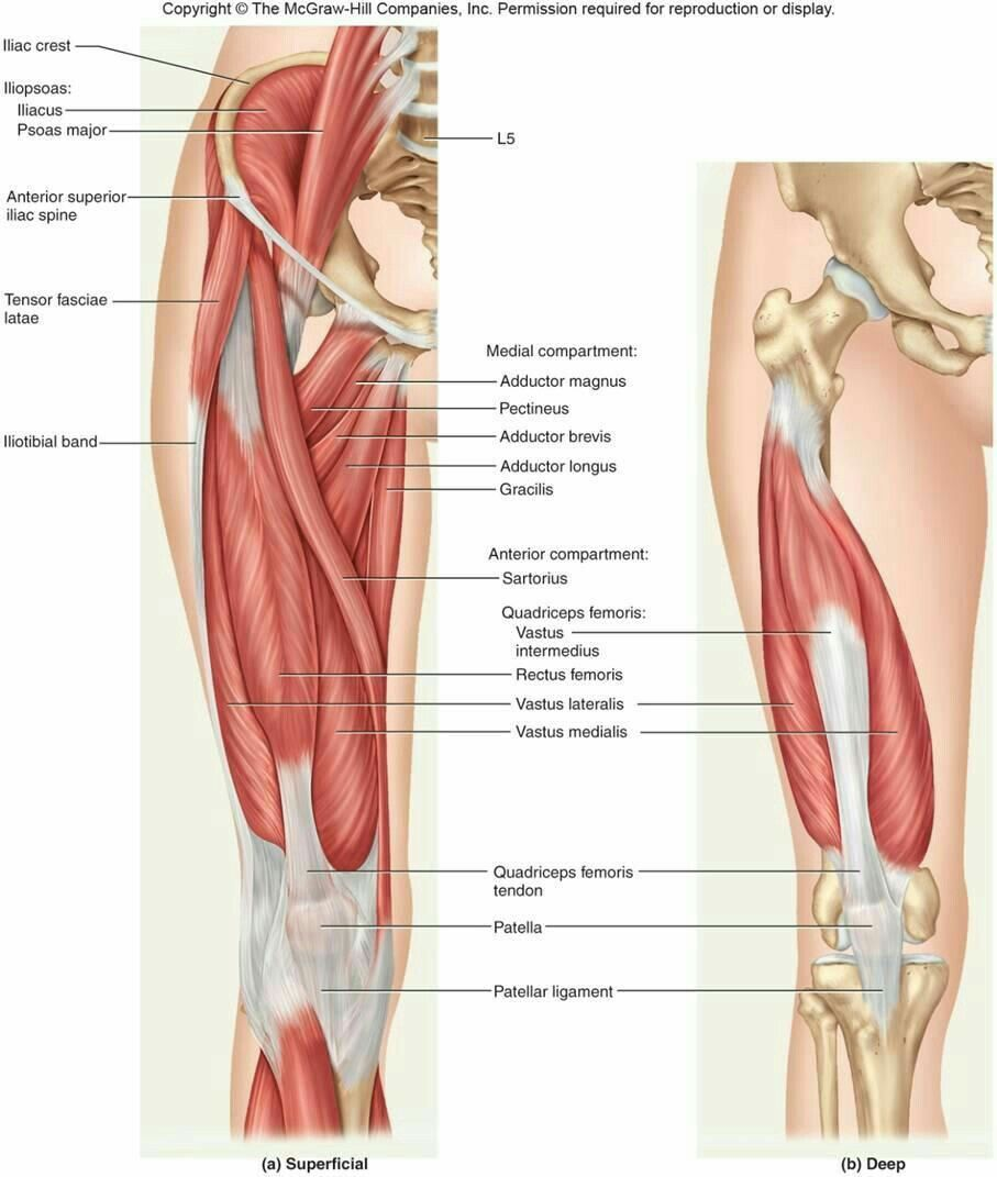 medial lower leg muscles diagram muscle dorsal pin by daleak sarphan on of the limb knee anatomy human organs images